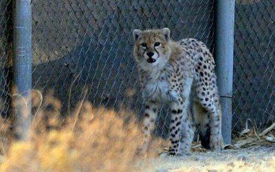 Storia della reintroduzione dei ghepardi in India….
