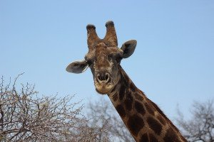 16.3 Giraffa