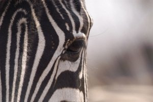 16.1 Zebra foto