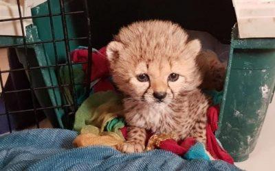 Combattiamo il commercio illegale di ghepardi
