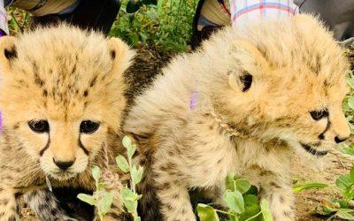 Il governo del Somaliland sbaraglia il traffico di cuccioli ed arresta 10 sospetti nel corso di  due interventi.