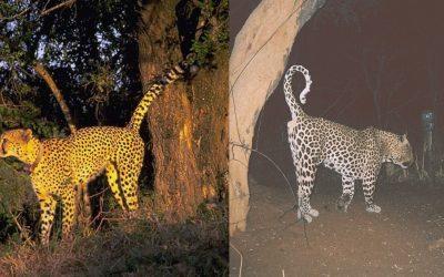 Condivisione spazio-temporale e suddivisione dei siti di marcatura dei profumi da parte di ghepardi e leopardi nella Namibia centro-settentrionale