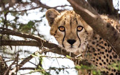 Gli sforzi dell' India per combattere il cambiamento climatico coinvolgono il ritorno del ghepardo!